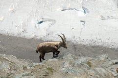 Stambecco delle Alpi alpino sopra il ghiacciaio di Gornergrat Immagine Stock