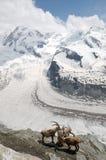Stambecco delle Alpi alpino sopra il ghiacciaio di Gornergrat Fotografie Stock Libere da Diritti