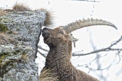 Stambecco delle Alpi lungo delle pecore del corno dello stambecco dei cervi Immagini Stock Libere da Diritti