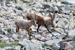 Stambecco delle Alpi lungo delle pecore del corno dello stambecco dei cervi Fotografia Stock Libera da Diritti