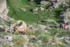 Stambecco delle Alpi lungo delle pecore del corno dello stambecco dei cervi Immagine Stock