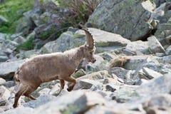 Stambecco delle Alpi lungo delle pecore del corno dello stambecco dei cervi Immagine Stock Libera da Diritti