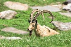 Stambecco delle Alpi lungo delle pecore del corno dello stambecco dei cervi Fotografia Stock