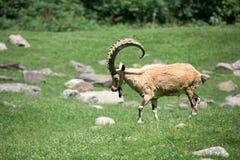 Stambecco delle Alpi lungo delle pecore del corno dello stambecco dei cervi Fotografie Stock Libere da Diritti