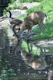 Stambecco delle Alpi lungo delle pecore del corno dello stambecco dei cervi mentre bevendo Fotografia Stock
