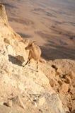 Stambecco di Nubian Fotografia Stock Libera da Diritti