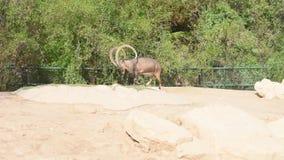 Stambecco di Nubian che cammina e che mangia mostrando audace ostentare a quei corni nubiana della capra stock footage
