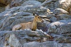 Stambecco di Nubian nella prerogativa della fauna selvatica fotografia stock libera da diritti