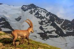 Stambecco, gamma di Mont Blanc, alpi francesi Fotografia Stock
