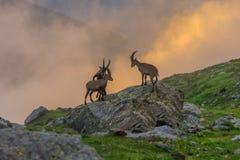 Stambecco, gamma di Mont Blanc, alpi francesi Immagine Stock