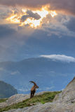 Stambecco, gamma di Mont Blanc, alpi francesi Immagini Stock