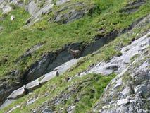 Stambecco libero nelle alpi francesi fotografia stock