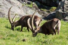 Stambecco maschio (capra dello stambecco) Immagine Stock Libera da Diritti