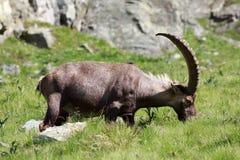 Stambecco maschio (capra dello stambecco) Fotografia Stock Libera da Diritti