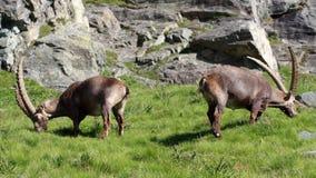Stambecco maschio (capra dello stambecco) Fotografie Stock Libere da Diritti
