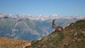 Stambecco nel Mountain View scenico Immagini Stock