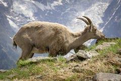 Stambecco nel selvaggio alpi france Fotografia Stock