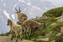 Stambecco nel selvaggio alpi france Fotografie Stock