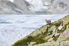Stambecco nella valle del ghiacciaio di Rhone, nelle alpi svizzere, Europa Fotografia Stock