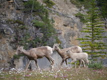 Stambecco in parco nazionale immagine stock
