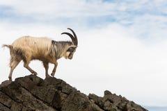 Stambecco selvaggio maschio che cammina sulle rocce sopra il mare immagine stock libera da diritti