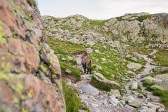 Stambecco selvaggio in Rocky Alpine Mountains Fotografie Stock Libere da Diritti