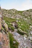 Stambecco selvaggio in Rocky Alpine Mountains Fotografia Stock