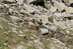 Stambecco su roccia Immagine Stock