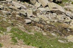 Stambecco su roccia Immagini Stock