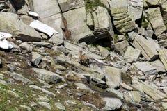 Stambecco su roccia Immagine Stock Libera da Diritti