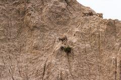 Stambecco su un pendio di collina Fotografia Stock
