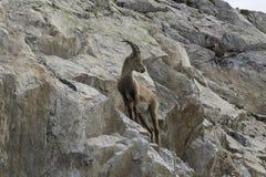 Stambecco su una roccia Alpi francesi Fotografie Stock Libere da Diritti