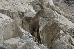 Stambecco su una roccia Alpi francesi Fotografia Stock Libera da Diritti