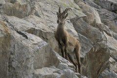 Stambecco su una roccia Alpi francesi Immagine Stock Libera da Diritti
