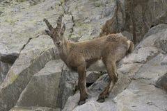Stambecco su una roccia Alpi francesi Fotografia Stock