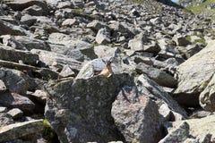 Stambecco su una roccia nelle alpi del sud del Tirolo Immagini Stock