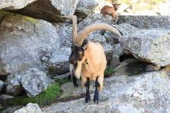 Stambecco su una roccia nelle alpi del sud del Tirolo Fotografie Stock Libere da Diritti