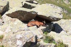 Stambecco su una roccia nelle alpi del sud del Tirolo Fotografia Stock