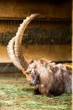 Stambecco in zoo Fotografia Stock Libera da Diritti