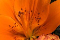 Stame arancio del giglio Immagini Stock Libere da Diritti
