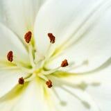 Stame e pistillo del Lilium del fiore bianco Fotografia Stock