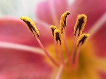 Stamen του ροζ Στοκ εικόνα με δικαίωμα ελεύθερης χρήσης