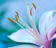 stamen макроса лилии Стоковые Изображения RF
