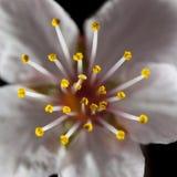 stamen цветка Стоковая Фотография