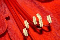 Stamen Стоковые Фотографии RF