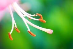 stamen макроса лилии Стоковые Фото