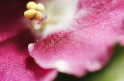 Stamen of african violet 2 Royalty Free Stock Images
