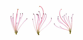 Stamen closeup isolated on white background Royalty Free Stock Image