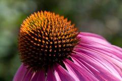 stamen för blomningdammfokus Arkivfoto
