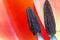 Poppy. Stamen in flower Stock Photos